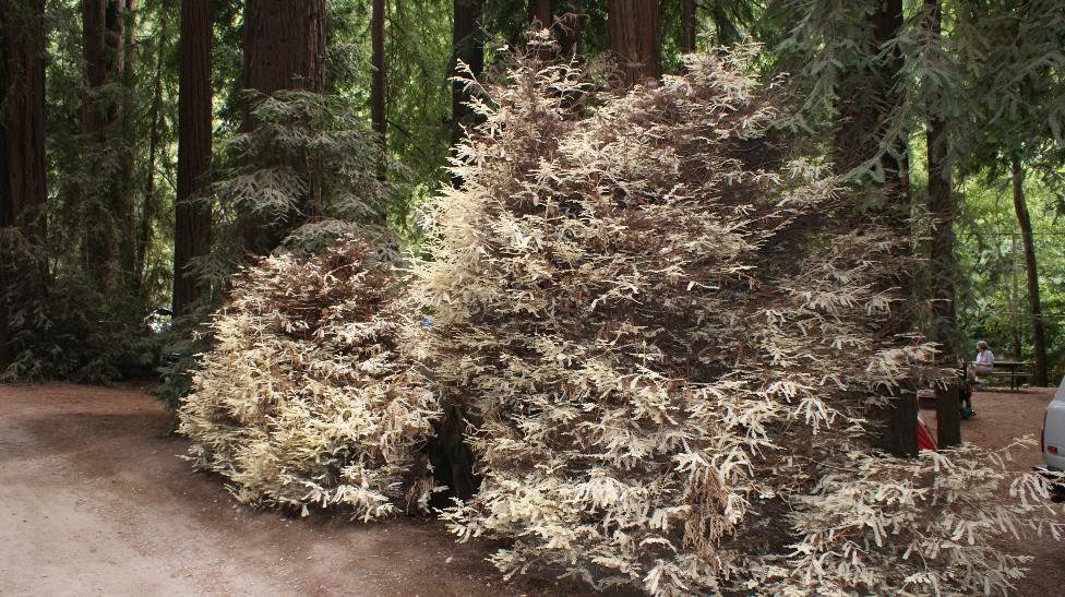 Albino redwood tree 2