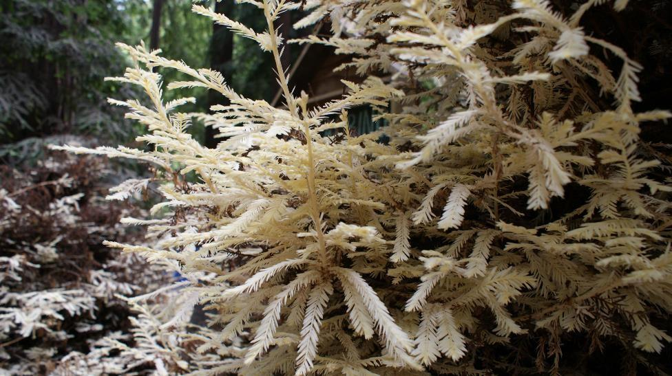 Albino redwood tree 3