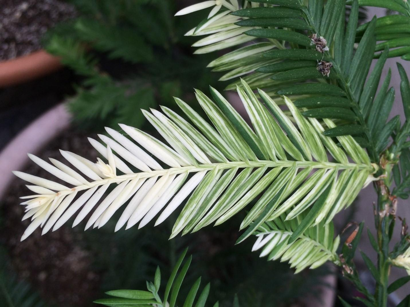 Albino_Redwood_1