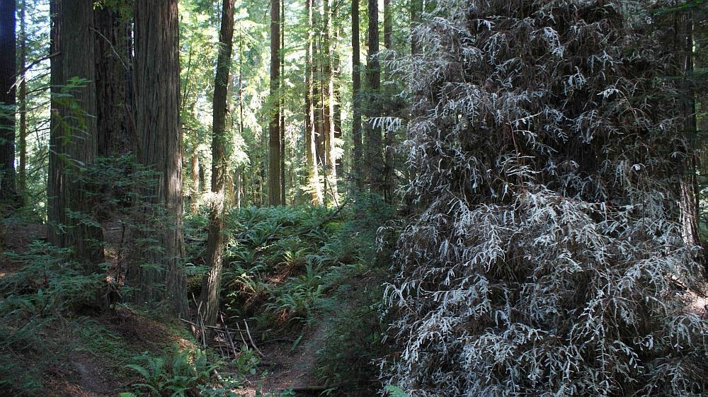 Albino_Redwood