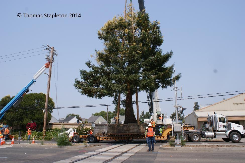 Cotati-Tree-on-the-move-1